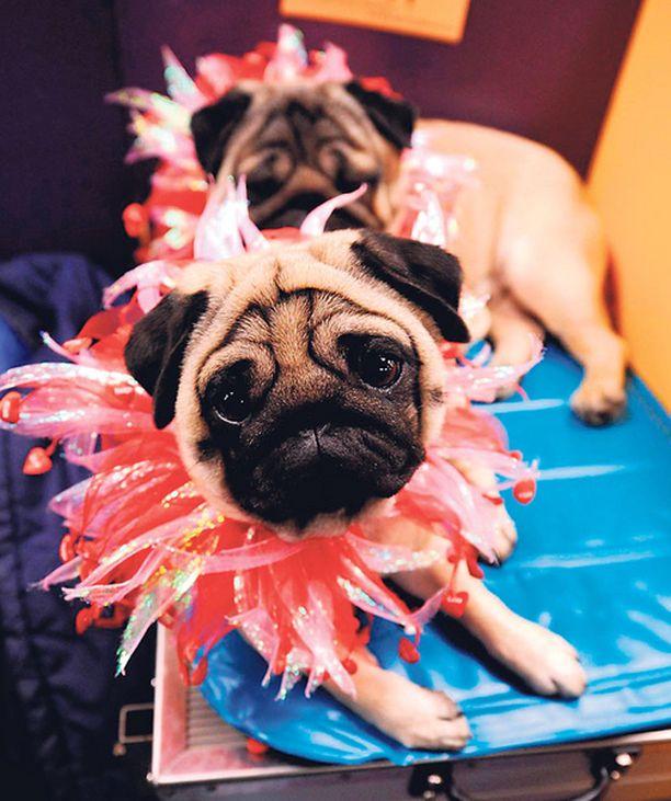 VUH! Nämä tyylitietoiset piskit poseerasivat alkuviikosta lajitovereidensa kanssa New Yorkissa järjestetyssä koiranäyttelyssä.