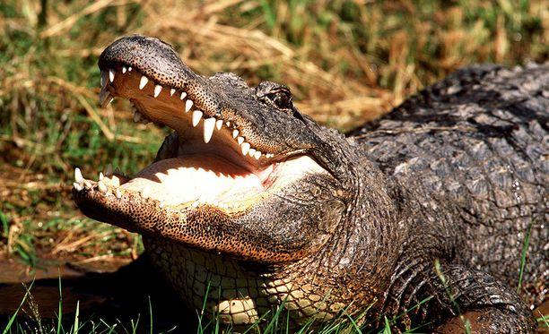 Alligaattorin sisältä löytyi todisteet siitä, että se oli purrut koiranulkoiluttajaa. kuvituskuva.