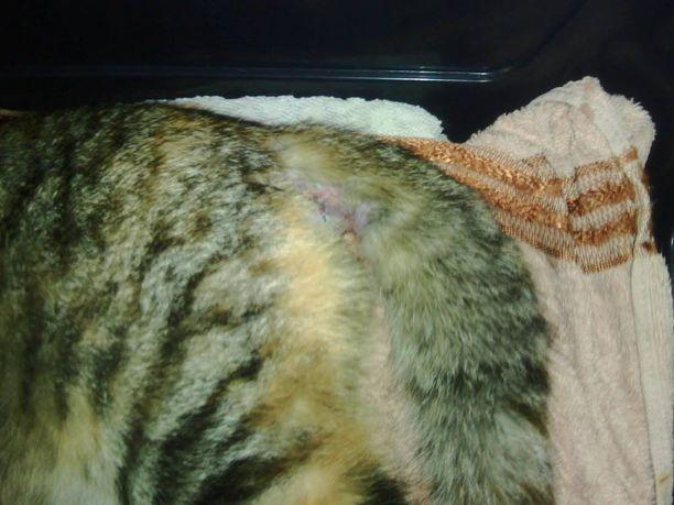 Vilma-kissa yrittää toipua pahoinpitelystään.