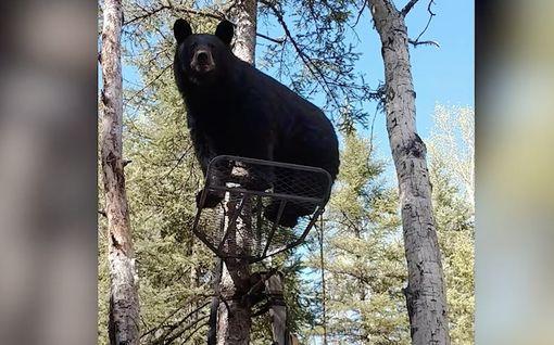 """""""Emme mahdu molemmat sinne"""" – Karhu valtasi metsästäjän paikan Kanadassa"""