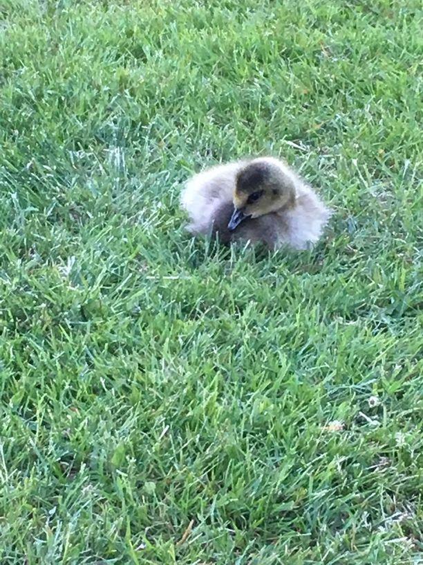 Pieni hanhi löytyi nurmikolta liikuntakyvyttömänä.