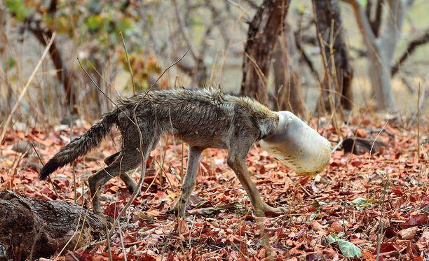 Susi oli todennäköisesti yrittänyt saada kanisterista ruokaa, kun sen pää jäi jumiin.