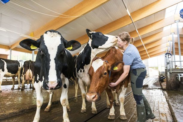Vapaan lehmän maito tulee pihattonavetoista, joissa lehmät pääsevät liikkumaan vapaasti.