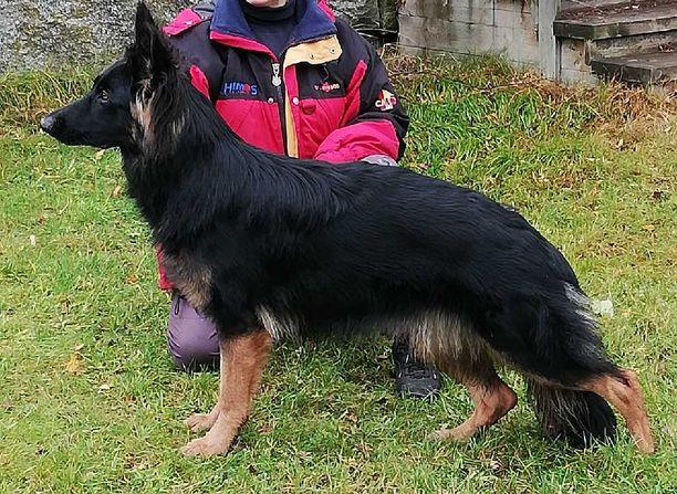 Ammutuksi joutunut koira oli 10 kuukauden ikäinen saksanpaimenkoira.