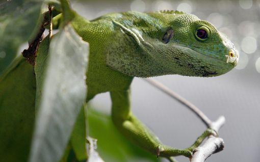 Floridassa annettiin varoitus puista putoilevista iguaaneista