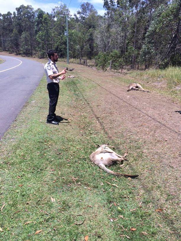 Kuolleet kengurut makasivat tienposkessa maanantaiaamuna.