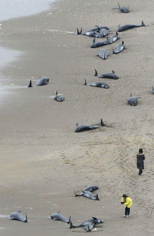 Delfiinit rantautuivat noin 10 kilometrin mittaiselle alueelle.