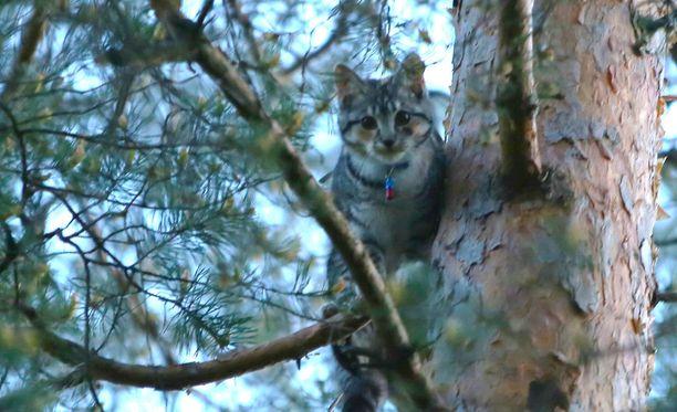 Kissaa ei kiinnostanut tulla alas puusta.
