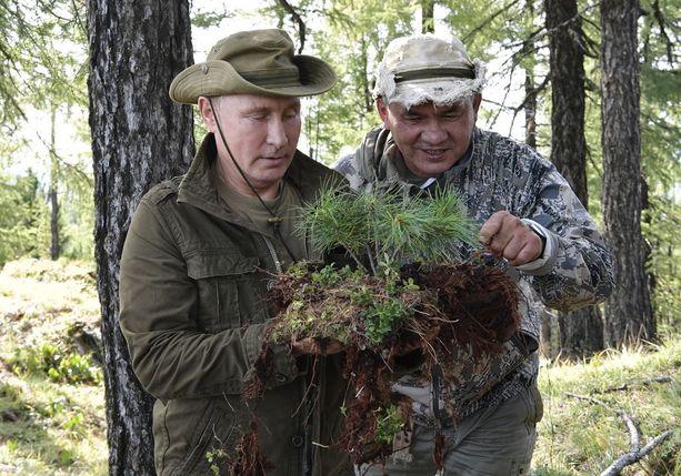 Vladimir Putin ja puolustusministeri Sergei Shoigu tutkailevat nuoria setripuita.