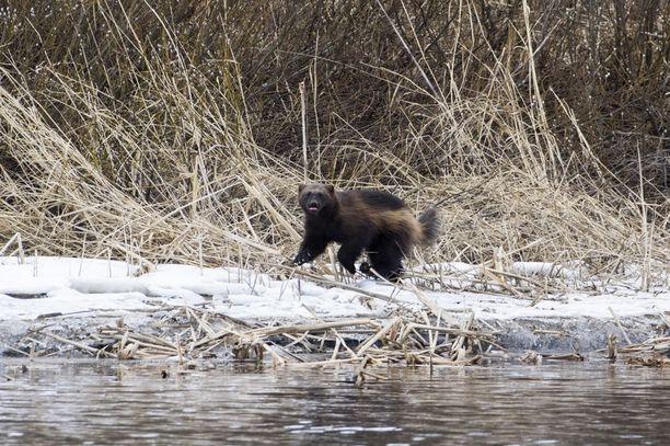 Maailman Luonnon Säätiö WWF Suomi kertoo tiedotteessaan tuomitsevansa ahman tappoluvat.