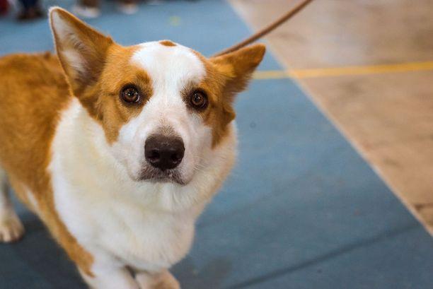 Corgia (kuvassa) muistuttavan sekarotuisen Vili-koiran tulevaisuus on nyt turvattu. (Kuvituskuva).