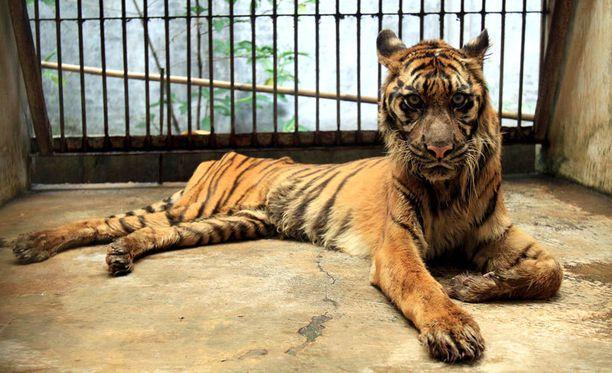 15-vuotias, pahasta ruoansulatuskanavan häiriöstä kärsivä sumatrantiikeri Melani kuvattiin Surabayan eläintarhassa huhtikuussa 2013.