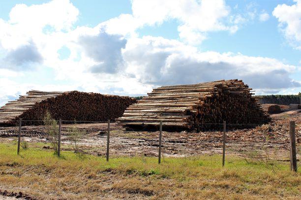 Eukalyptuspuun rungot lastataan plantaasin reunalle odottamaan kuljetusta Fray Bentosin sellutehtaalle.