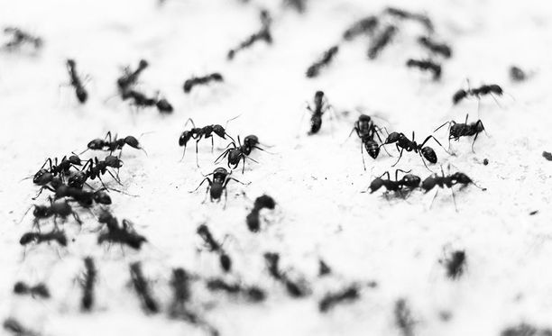 Eräs lukija ehdottaa muurahaisten karkottamiseen etikasta ja kanelista tehtyä tahnaa.