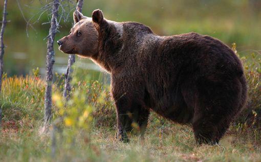 Poliisi lopetti Puijolle kadonneen karhun jäljittämisen - arvellaan liikkuvan itse pois alueelta