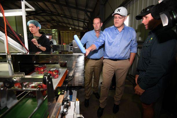 Australian pääministeri Scott Morrison tutustui mansikkatuotantoon Queenslandissa syyskuussa. Hän on julkisuudessa vaatinut neulojen piilottamiseen syylliselle henkilölle kovaa tuomiota.