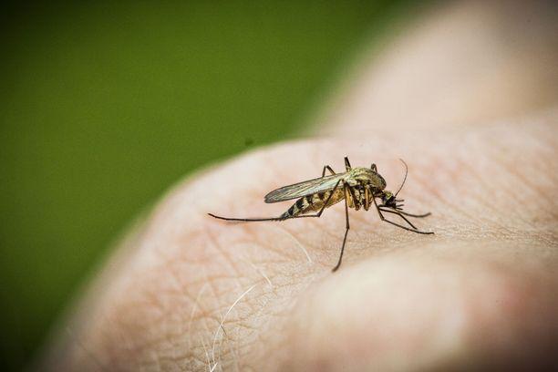 Juhannuksena on tavallista enemmän hyttysiä, mutta koko kesän mittapuulla kyseessä on normaali kesä.