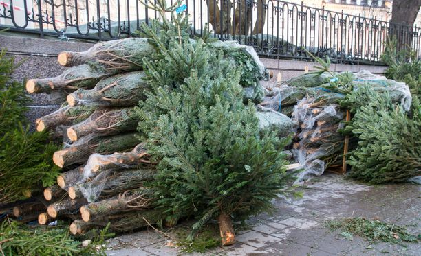Kuusikaupoilla joulukuusta kannattaa hieman tutkia.