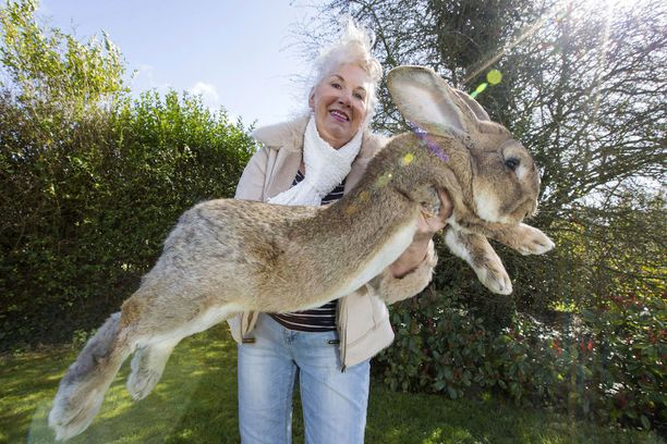 Annette Edwards, 65, yhden jättiläiskaninsa kanssa.