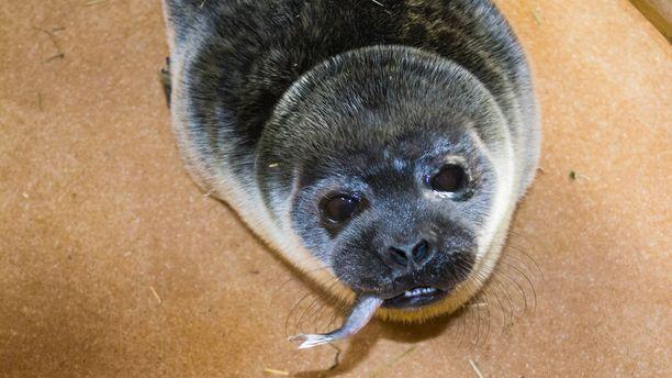 Ranuan Eläinpuistossa Pettelle on maistunut ruoka ja kuutti saa nyt kasvaa pärjätäkseen taas luonnossa.