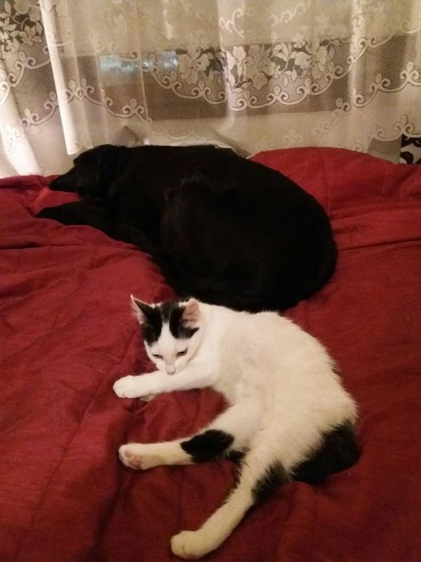 Neljä kuukautta vanha Rölli-kissa tottui alkuhämmennyksen jälkeen hyvin Ronja-koiraan.