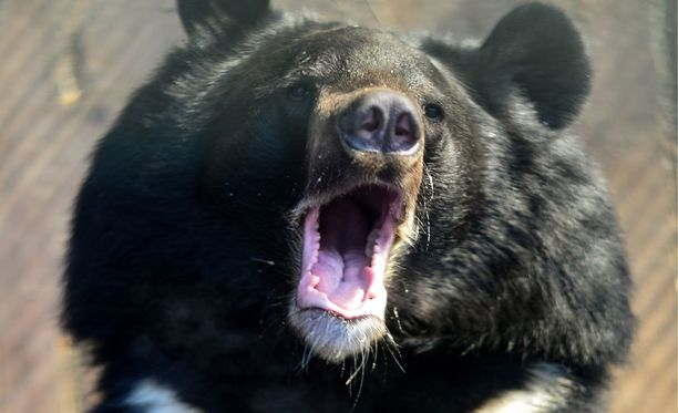 Mustakarhu on kova juoksemaan.