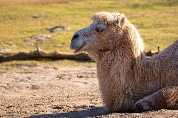 Aikuinen kameli voi painaa satoja kiloja.