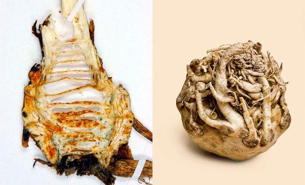 Myrkkykeison juurakon sekoittaminen mukula- eli juuriselleriin teki alavutelaisen Tuula Isomaan kasviruuasta myrkyllisen. Myrkkykeiso kuvassa vasemmalla.