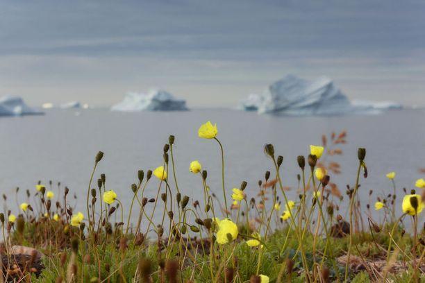 Kesällä Grönlantikin kukkii.