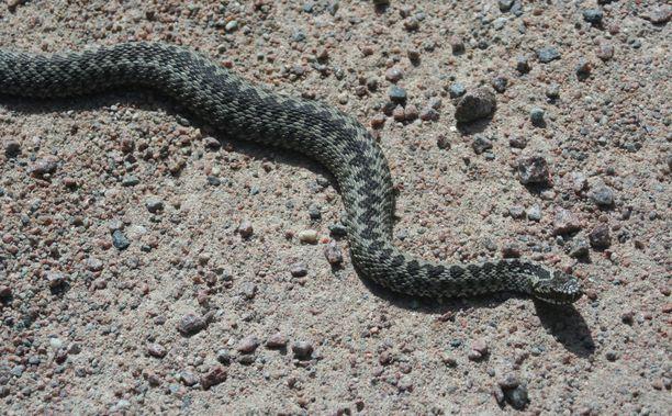 Kyykäärmeet ovat piinanneet Seinäjoella asuvaa perhettä jo vuosia. Kuvituskuva.