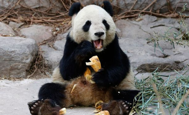 Pandat elävät vuoristoseuduilla. Kuvan panda ei liity murheelliseen tapaukseen.