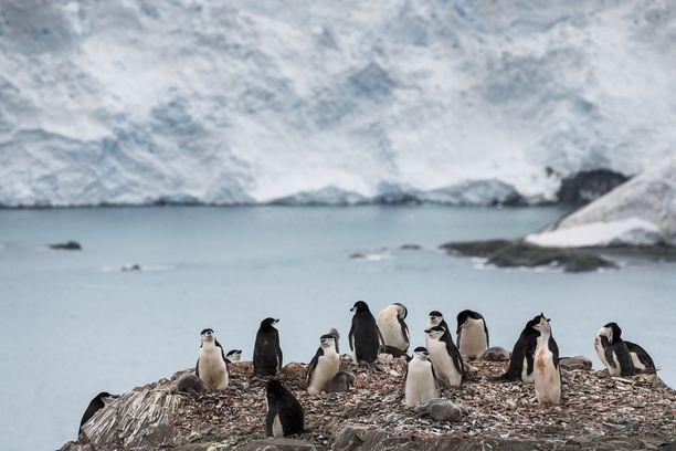 Myssypingviinien populaatioissa on havaittu rajua laskua usealla Etelämantereen alueella.
