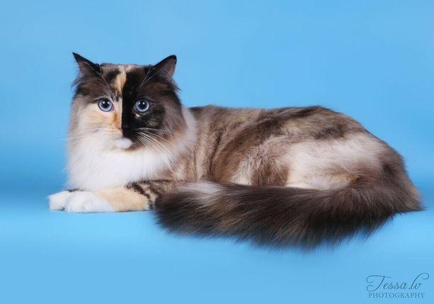 Ragdoll oli viime vuonna Suomen suosituin kissarotu rekisteröintien perusteella. Rotu on ollut suosituin jo 15 vuotta.