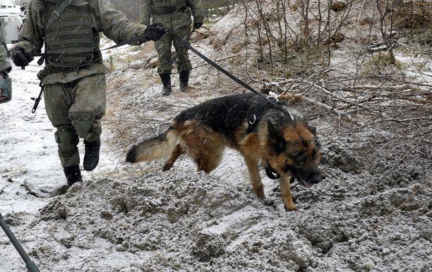 Turma sattui räjähdysaineiden etsintä -harjoituksissa. Arkistokuva venäläisestä sotakoirasta miinan etsinnässä.