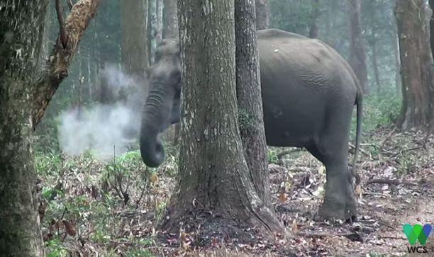Elefantin tupruttelu kummastuttaa.