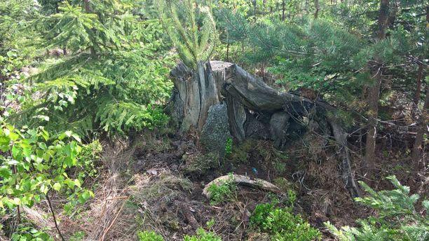 Huumausaineet oli piilotettu suojaisaan paikkaan suuren kannon juurelle.