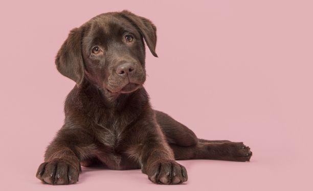 Labradorinnoutaja on erityisen suosittu koirarotu Etelä-Suomessa.