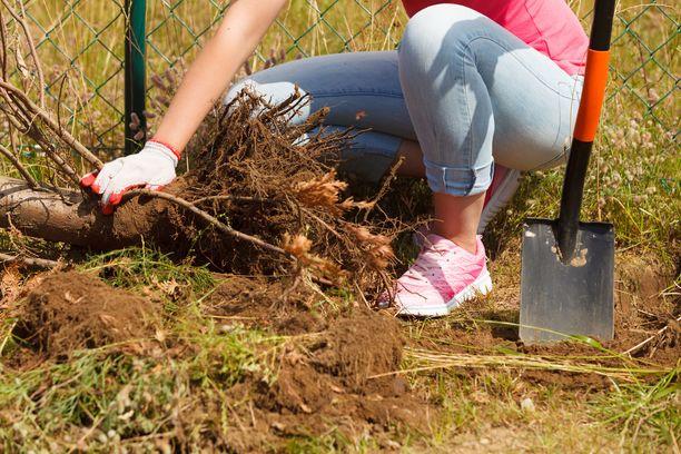 Kiellettyjen kasvien hävittäminen on jokaisen maanomistajan vastuulla. Vapaaehtoistyön koordinaattori Armi Koskela kannustaa niittämään lupiinin ja näivettämään kurtturuusun mieluummin kuin mylvimään niiden juuret maasta. Kuvituskuva.
