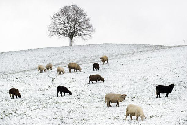Sveitsissä lampaat laiduntavat lumen peittämillä niityillä.