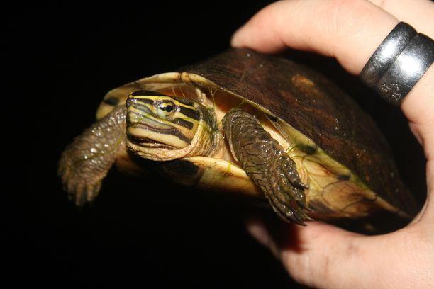 Jos viidakossa olisi pitänyt selviytyä pidempään luonnon antimilla, kuvan kilpikonnakin olisi luultavasti päätynyt keitoksi.
