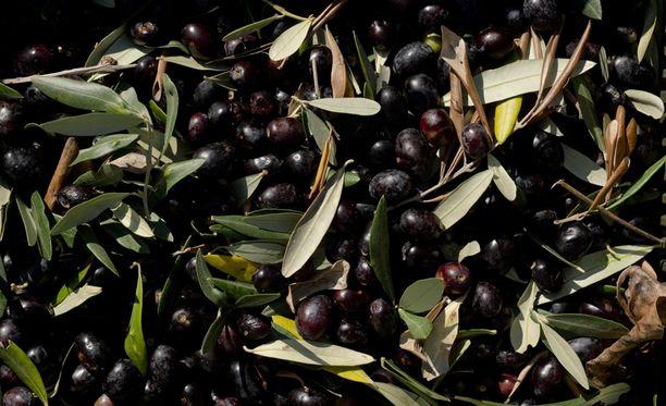 Oliivit ja oliiviöljy ovat italialaisessa keittiössä ensiarvoisen tärkeitä raaka-aineita. Kuvituskuva.