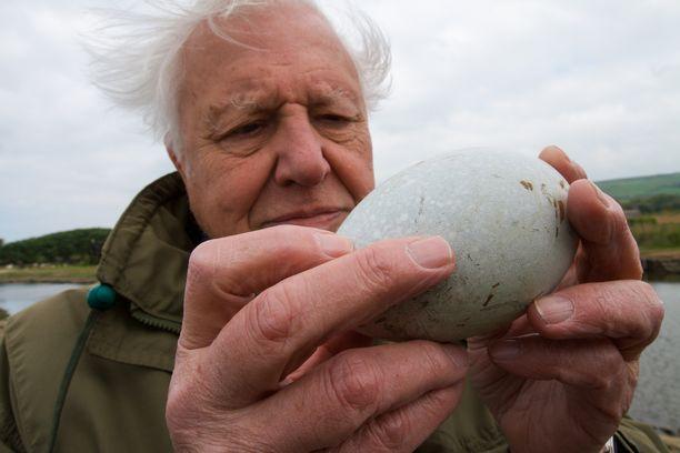 Sir David Attenborough pitelee käsissään joutsenen munaa. Se on vedenpitävä, mutta antaa sisällä kehittyvän poikasen hengittää kuoren läpi.