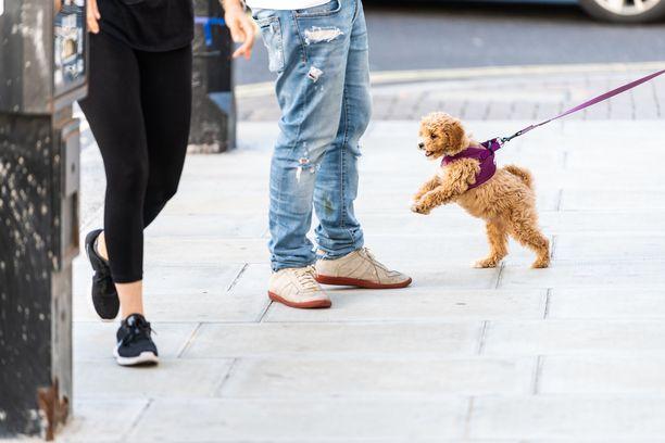 Koiranpentu ei automaattisesti osaa kulkea hihnassa. Kaunis hihnakäytös on koulutuksen tulos.