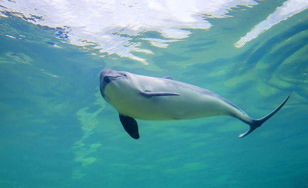 Pyöriäinen on Itämerellä äärimmäisen uhanalainen laji. Tämä yksilö elää akvaariossa Alankomaissa.