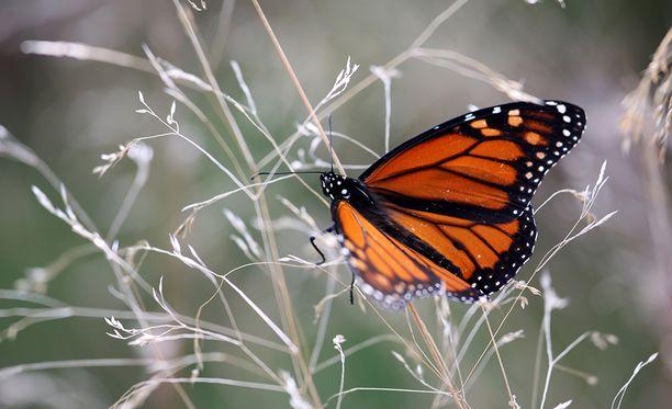 Monarkkiperhoset muuttavat talveksi Kanadasta Meksikoon. Matkaa kertyy noin 4 000 kilometriä.