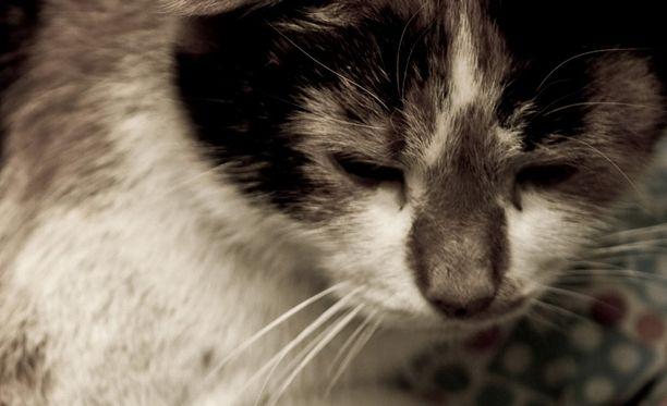 Kissanomista oli päästänyt lemmikkinsä surkeaan kuntoon. Se oli aliravittu ja pahoin sairas (kuvituskuva).