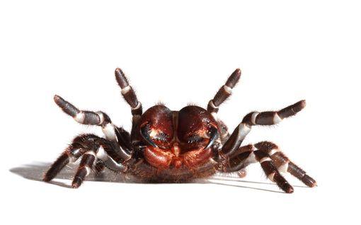 Metsäpalojen ja tulvien jälkeen uusi vitsaus: Nyt Australiaa uhkaa tappavien tunneliverkkohämähäkkien invaasio