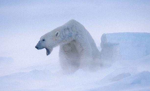 Jääkarhu kävi hiihtäjän kimppuun Huippuvuorilla.