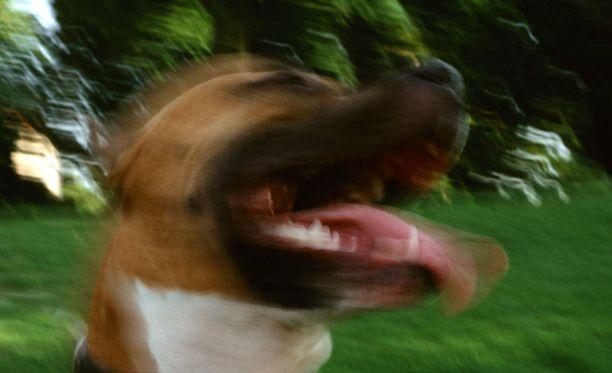 Suurikokoinen rescue-koira tappoi pikkukoiran ja seuraavana päivänä kissan. Naapurit hämmästelevät tapahtunutta. Kuvan koira ei liity tapahtuneeseen.