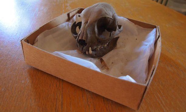 VANHA KALLO Tämä löydös toteutti arkeologiopiskelijan haaveen.
